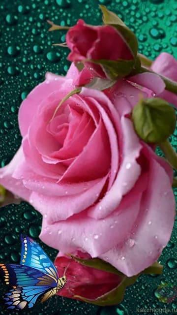 Изысканная розовая роза с нежными бутонами и красивой бабочкой на фоне утреней росы передаёт теплые и добрые чувства. Открытки любимой скачать на телефон на сайте kakchtogde.ru